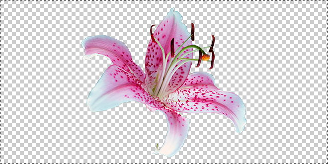 lily flower_png