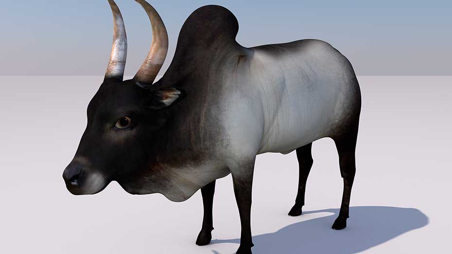 Indian Bull (Jallikattu kaalai)